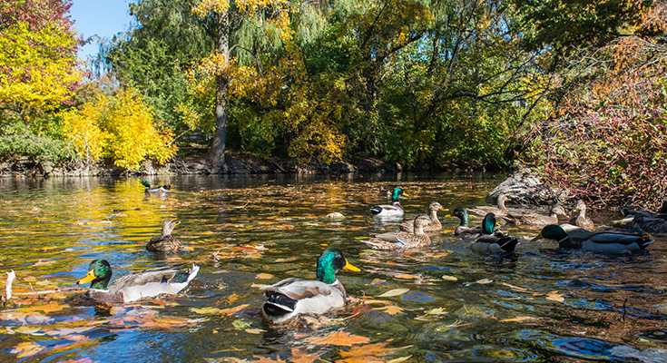 A photo of ducks floating down MSU's Red Cedar River.